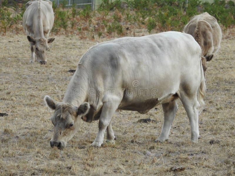 Krowy pasa na gospodarstwie rolnym zdjęcia stock