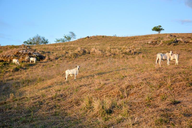 Krowy pasa na otwartych polach w wsi w brazilpółnocnym wschodzie zdjęcia stock