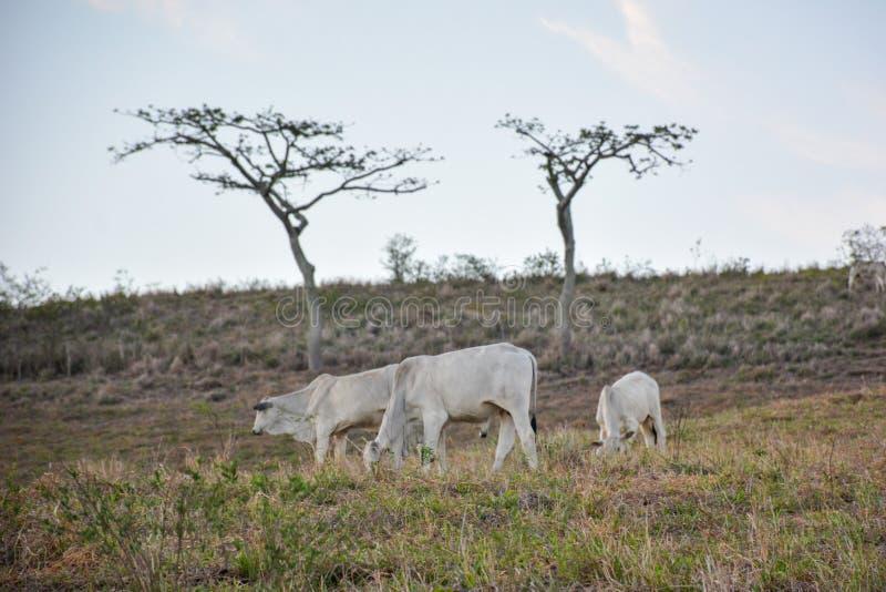 Krowy pasa na otwartych polach w wsi w brazilpółnocnym wschodzie fotografia royalty free
