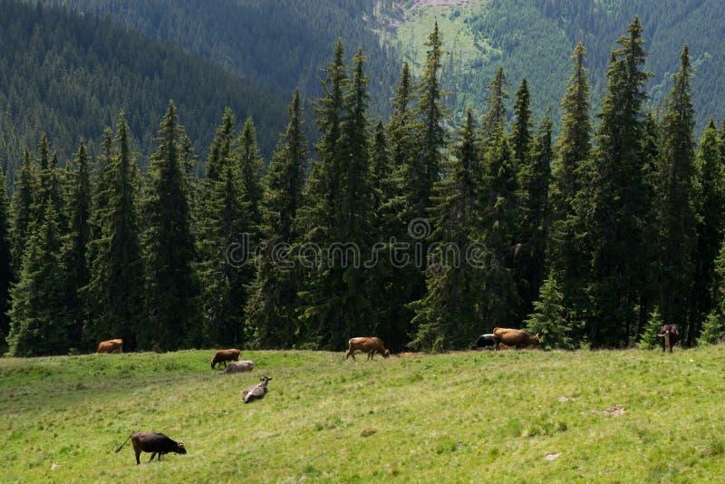 Krowy pasa na polu w lecie obrazy stock