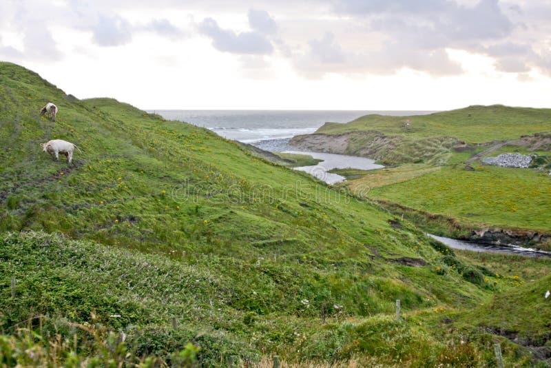 Krowy pasa na wzgórzu w zachodnim Irlandia obrazy royalty free