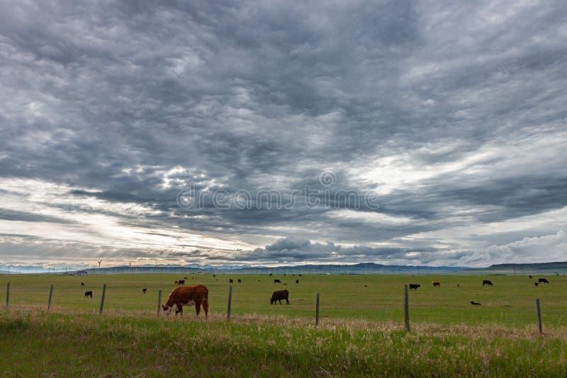 Krowy Pasa w paśniku Pod Groźnymi niebami zdjęcie stock