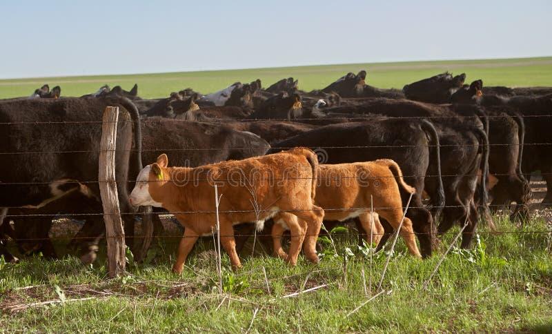 Krowy pasa w paśniku za elektrycznym ogrodzeniem obraz royalty free