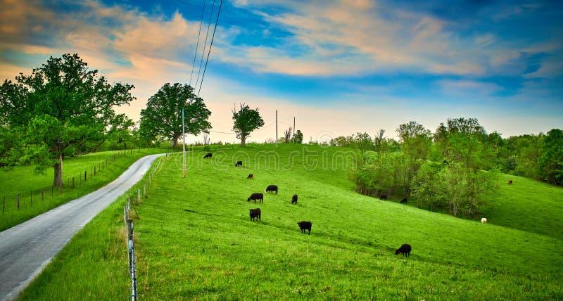 Krowy Pasa Wzdłuż wiejskiej drogi obraz stock