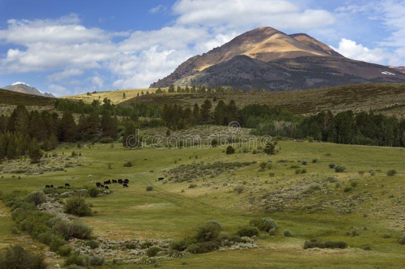Krowy pasają w bukolicznej dolinie w Sierra Nevada górach zdjęcia royalty free