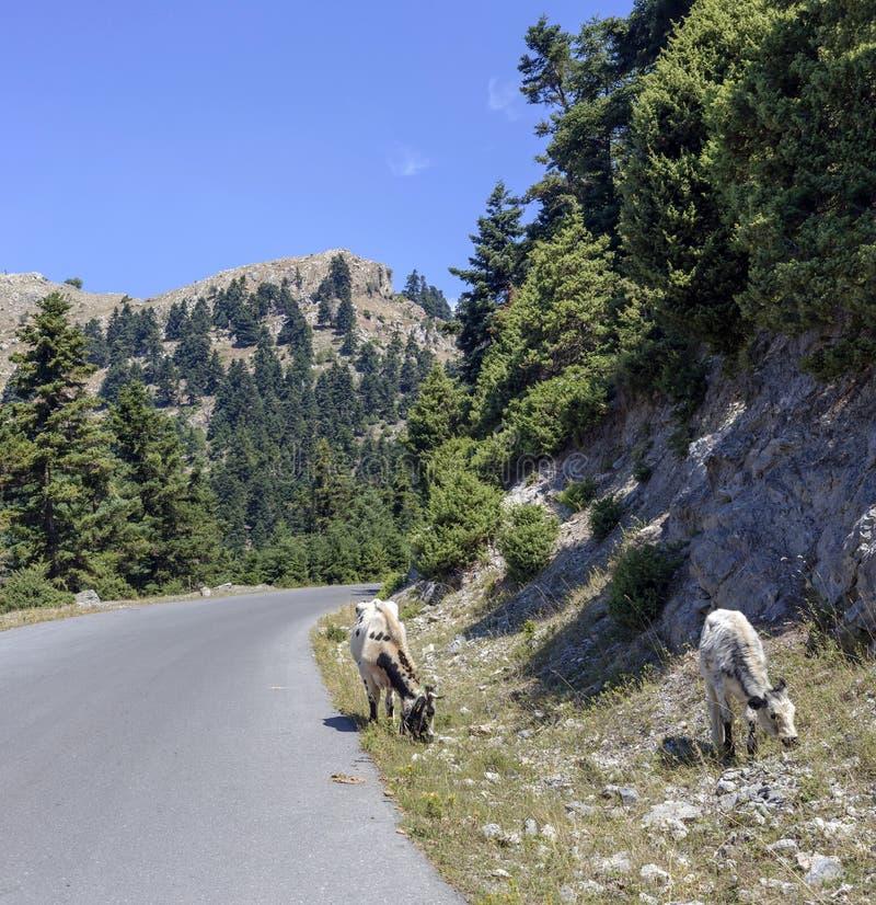 Krowy pasają drogą w górach obraz stock