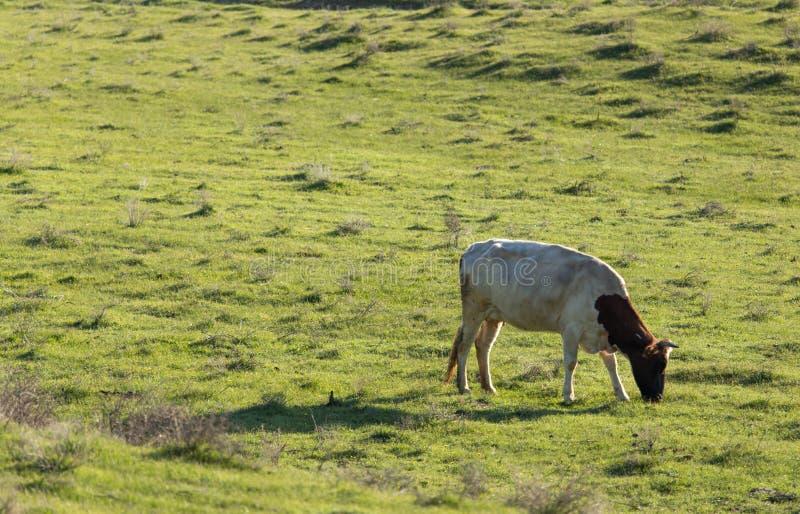 Krowy pasają na paśniku na naturze zdjęcia stock