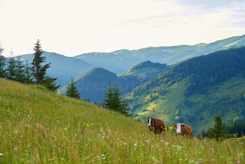 Krowy pasają na zielonych halnych polach i łąkach obrazy stock