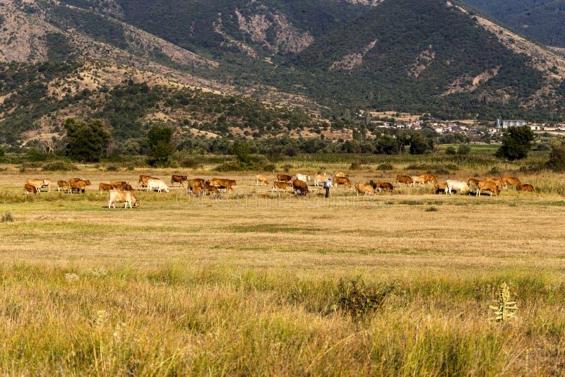 Krowy pasają w łące obraz royalty free