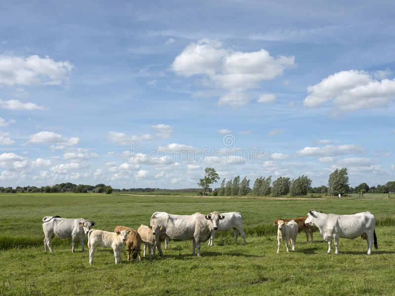 Krowy pasają w natura terenu leersumse trawiastym terenie w holandiach blisko obrazy stock
