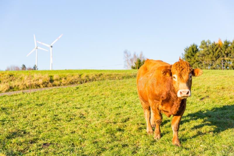 Krowy pasanie na łące i silniki wiatrowi w tło wiejskiej ziemi obrazy royalty free