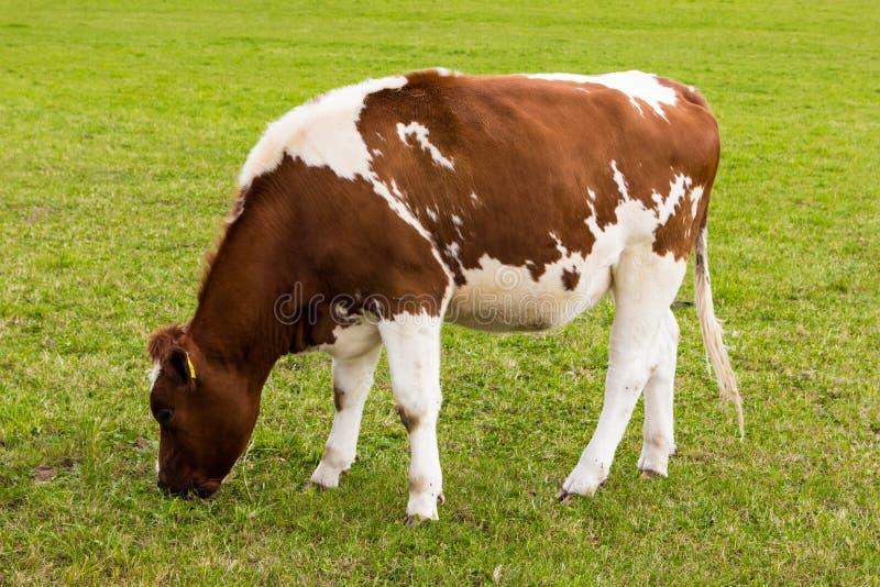 Download Krowy Pasanie Na łąkowym Nabiału Mleku Obraz Stock - Obraz złożonej z stado, twarz: 53785913