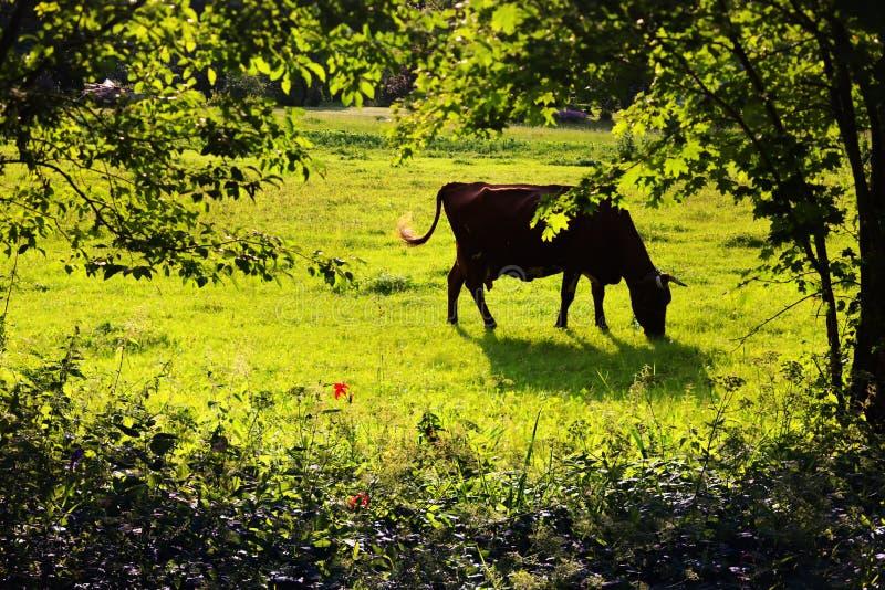 Download Krowy Pasanie Na Gazonie Wśród Drzew W Lecie Zdjęcie Stock - Obraz złożonej z krajobraz, niebo: 53788940