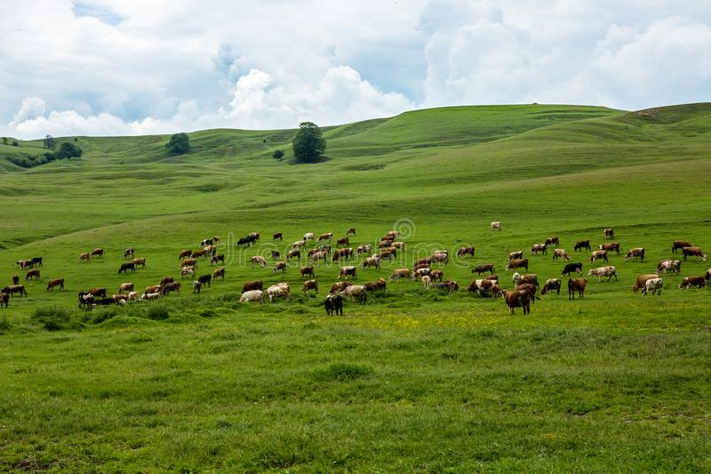 krowy pole sceniczny pochmurno zdjęcia royalty free