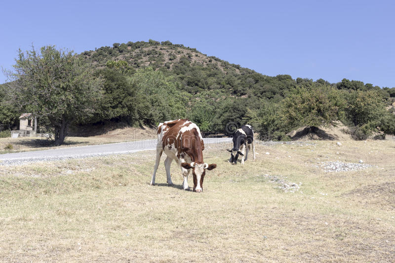 Krowy przy drogą na słonecznym dniu obraz royalty free