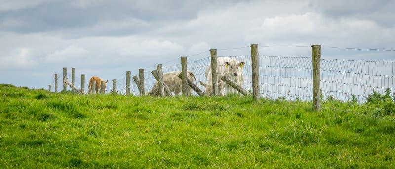 Krowy przy falezami Moher zdjęcie royalty free