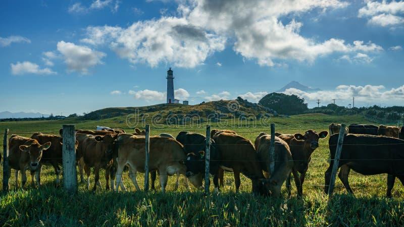 Krowy przy przylądka egmont latarnią morską, wulkanu mt taranaki, nowy Zealand zdjęcia stock