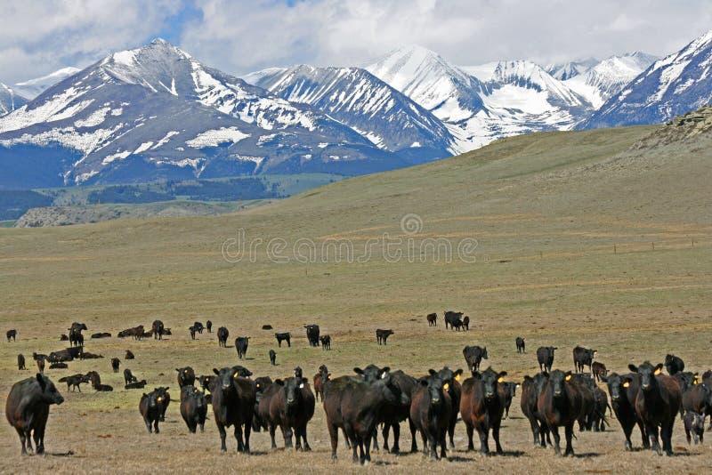Krowy przychodzą zdjęcia royalty free