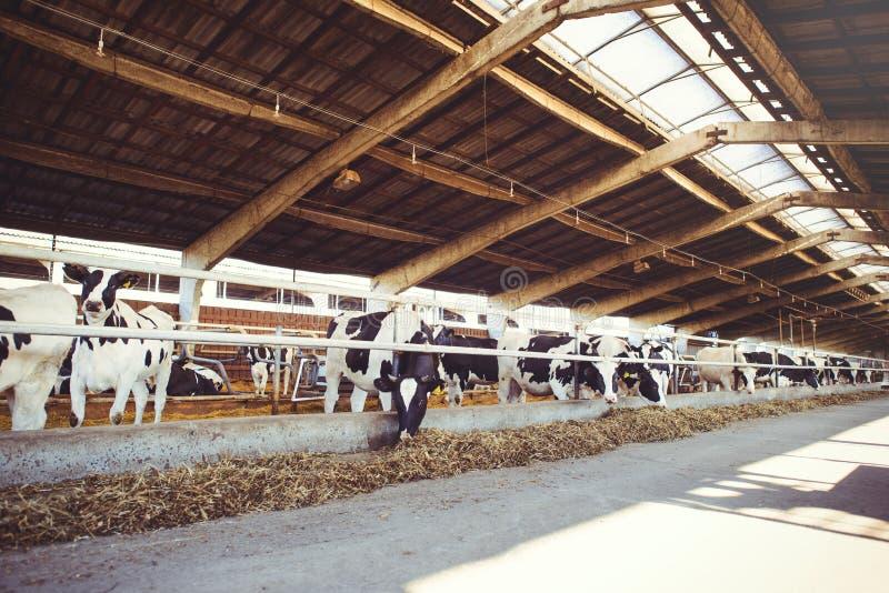 Krowy rolny pojęcie rolnictwo, rolnictwo i bydlę, - stado krowy które używają siano w stajni na nabiału gospodarstwie rolnym obraz stock