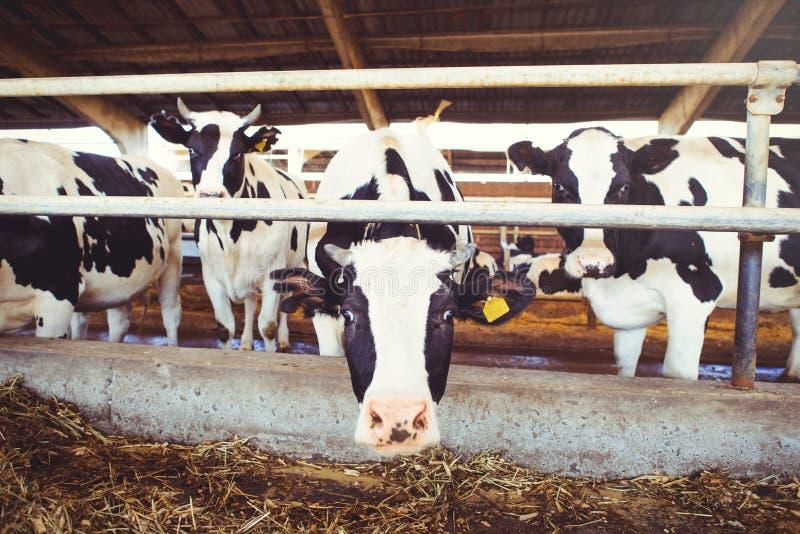 Krowy rolny pojęcie rolnictwo, rolnictwo i bydlę, - stado krowy które używają siano w stajni na nabiału gospodarstwie rolnym obraz royalty free