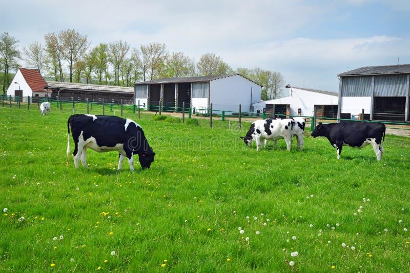 Krowy rolny rolnictwo obraz royalty free