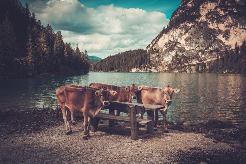 Krowy stoi blisko Lago Di Braies z halnym lasem na tle obrazy stock