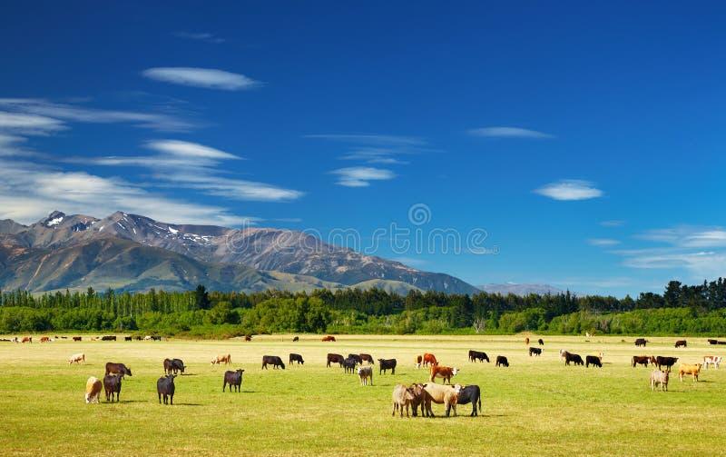 krowy target261_1_ krajobraz zdjęcie royalty free