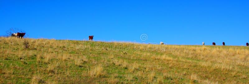 krowy trawiasta ridge pastwiskowa fotografia royalty free