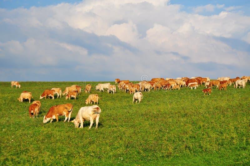 Krowy uprawia ziemię rolnictwo obrazy stock