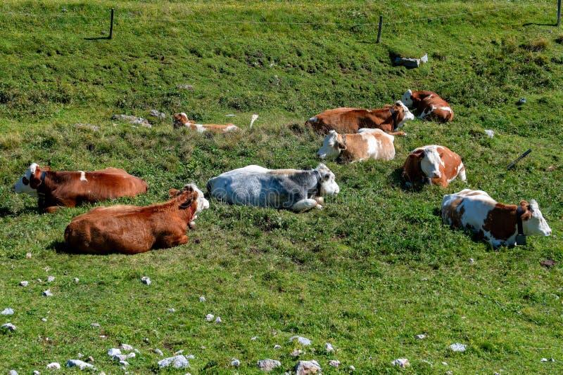 Krowy w Alpejskich góra paśnikach obraz royalty free