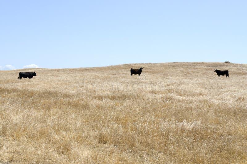 Krowy w Dębowym parku narodowym zdjęcia royalty free