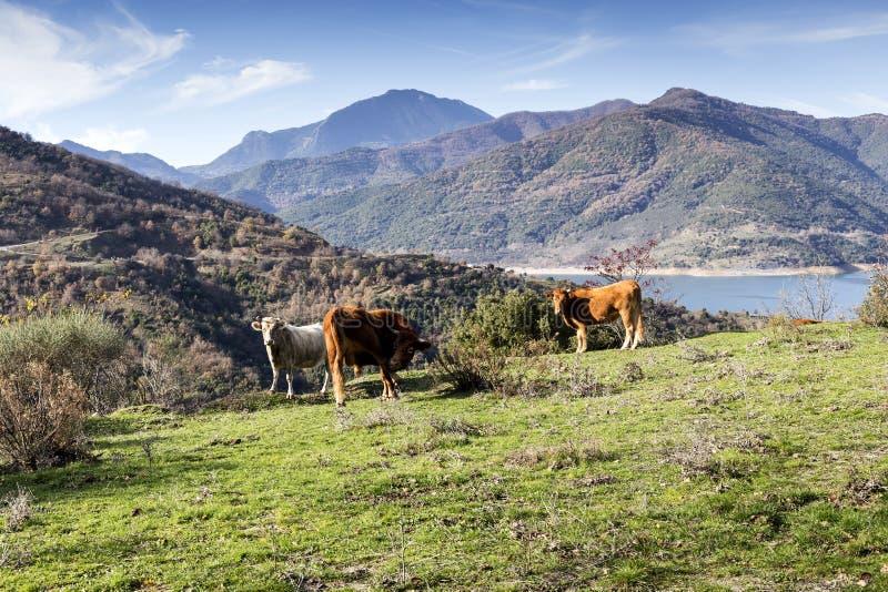 Krowy w Halnej łące zdjęcie stock