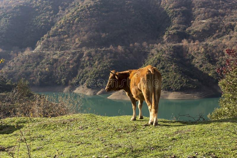 Krowy w Halnej łące obrazy stock