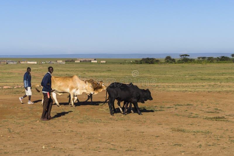 Krowy w Kenja obraz royalty free