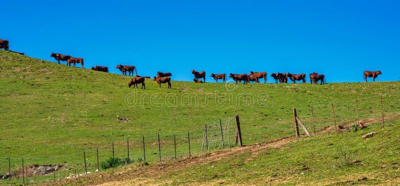Krowy w Madrigueras w sierrze de Grazalema, Andalusia, Hiszpania zdjęcia stock