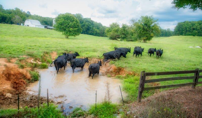 Krowy w paśniku opuszcza podlewanie dziury fotografia stock