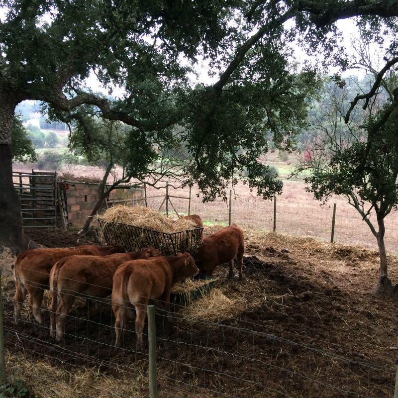 Krowy w padoku łasowania sianie, bydlę fotografia royalty free