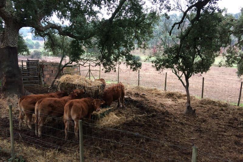 Krowy w padoku łasowania sianie, bydlę obraz stock