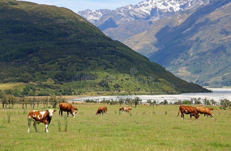 Krowy w Południowych Alps fotografia stock