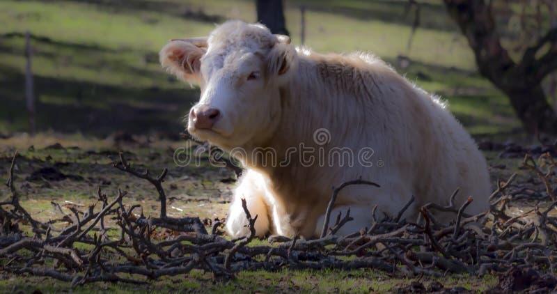 Krowy w polu zdjęcie royalty free