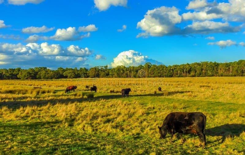 Krowy w polu 2 obrazy stock