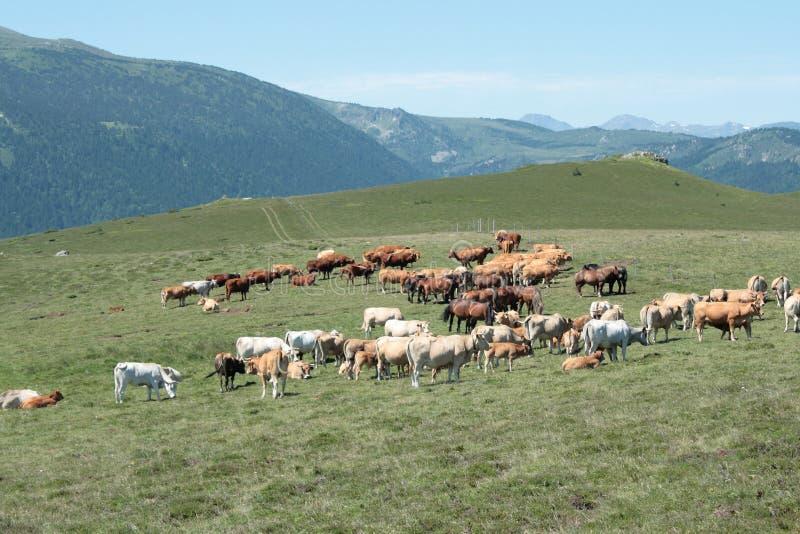 Krowy w Pyrenees obrazy stock