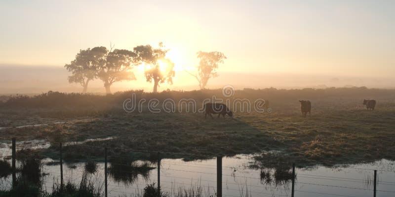 Krowy w ranku słońcu obrazy royalty free
