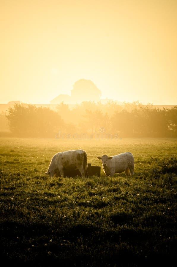 Krowy w słońcu obraz royalty free