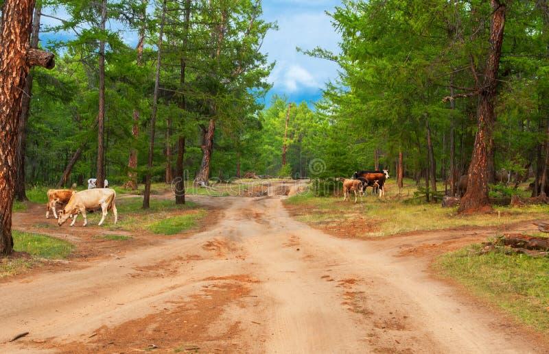 Krowy w sosnowym lesie obrazy royalty free