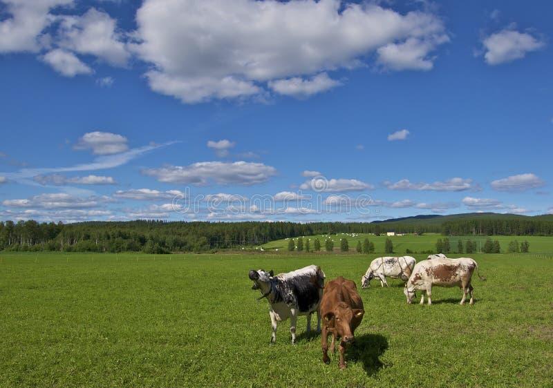 Krowy w szwedzi polu zdjęcia stock