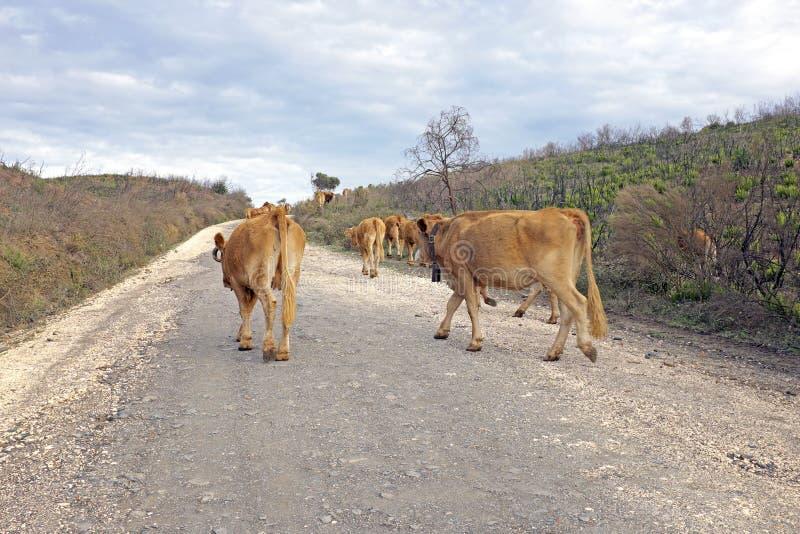 Krowy w wsi od Portugalia obraz royalty free