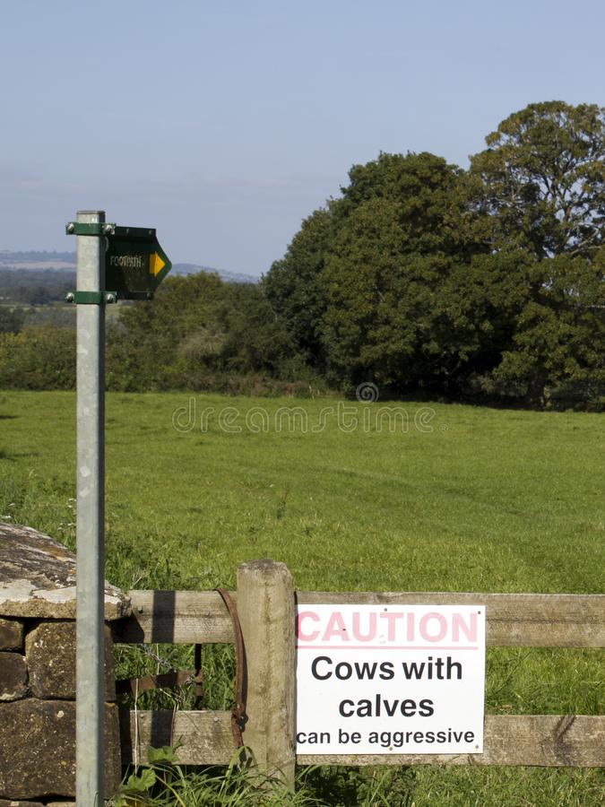 Krowy z łydka znakiem zdjęcia royalty free
