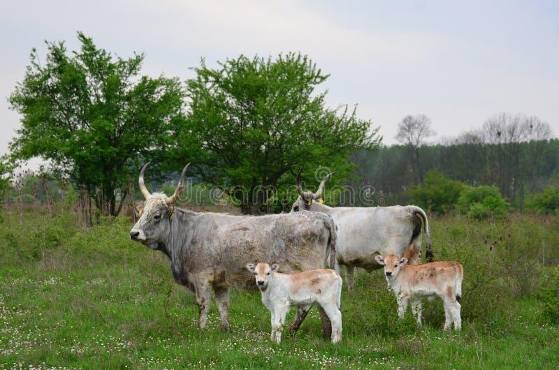 Krowy z łydkami zdjęcie stock