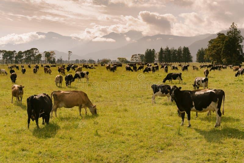 Krowy zwierzęta gospodarskie nad zielonego szkła i góry tłem fotografia stock